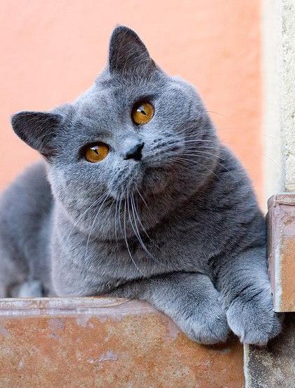 Wow Ini Deretan 6 Kucing Termahal Di Dunia Inspirasi Shopee